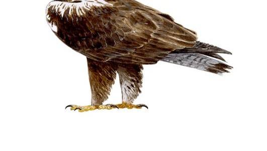 El recorrido ornitológico de este mes lo realizaremos el 27 de febrero será para admirar al águila imperial en El Pardo